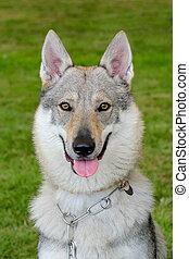 Typical Czechoslovakian Wolfdog