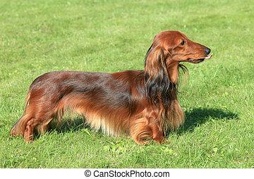 Dachshund Standard dog in the spring garden