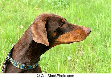 Typical Dobermann dog in a garden