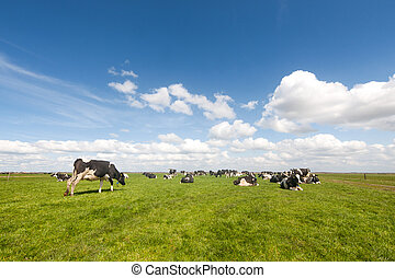 Typical Dutch landscape with black and white cows in the meadows
