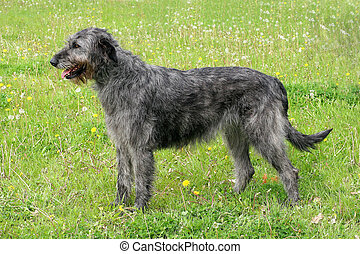 Typical grey Irish Wolfhound