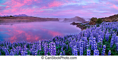 Typical Icelandic landscape with field of blooming lupine flowers.