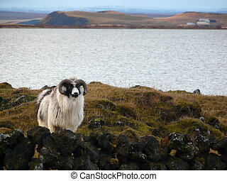 Typical Icelandic sheep - Typical Iceland sheep with horns...