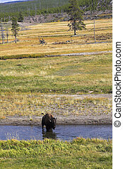 Typical landscape in Yellowstone national park. A bison on a watering place