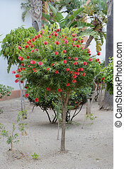 Typical southern tree - bottlebrush - Typical southern tree ...
