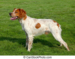 Spotted Brittany Spaniel dog in a garden