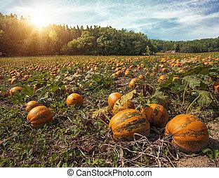 Typical styrian pumpkin field, Austria