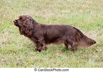 Typical Sussex Spaniel on a green grass lawn - Typical...