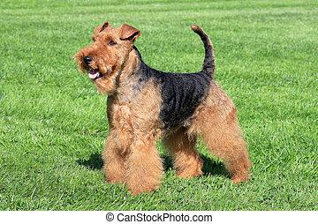 Typical Welsh Terrier in a summer garden - Welsh Terrier in...