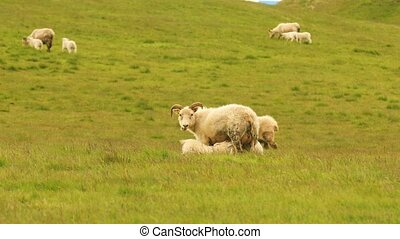 Typical white sheep with lambs on pasture in Iceland, Europe...