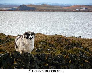 typisch, isländisch, schafe