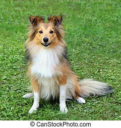 typisch, shetland sheepdog