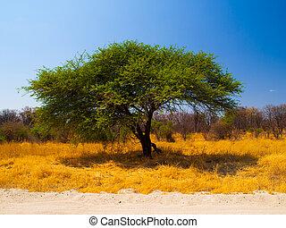 typowy, afrykanin, akacjowe drzewo
