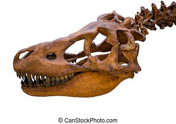 tyrannosaurus rex, skelett, totenschädel, freigestellt, weiß, hintergrund