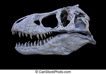 tyrannosaurus skull isolated - tyrannosaurus rex exact...