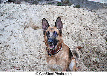 tyska herde, sittande, i sandet