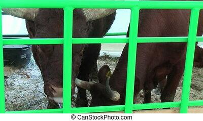 Cows of Salersky meat breed - Tyumen, Russia - June 24,...