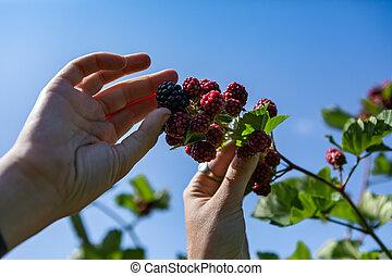 U pick blackberries farm, hands close up