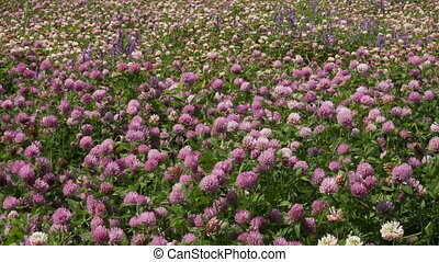 %u0421lover - A large field of blooming clover
