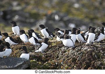 uccelli, colonia, -, poco, auks
