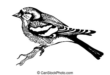 uccello, chaffinch, hand-drawn, illustrazione