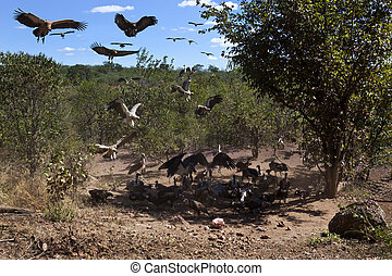 uccidere, vultures, zimbabwe, -