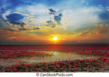 Udon Thani , picture of beautiful lotus flower field at the...