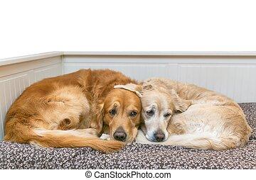 udsigter, i, to, hunde, liggende