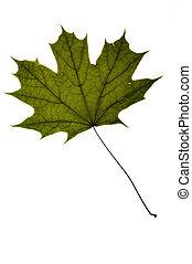 udtørr, grønne, ahorn træ, blad, på hvide