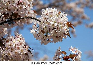 Tokyo, Japan - cherry blossom (sakura) at famous Ueno park.