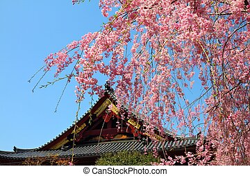 Ueno Park spring time. Cherry blossoms in Tokyo, Japan. Pink cherry blossoms. Weeping cherry - shidarezakura.
