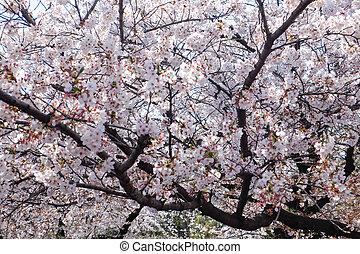 enjoy cherry blossom on Ueno Park. japan