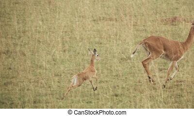 Uganda kobus kob baby running behind mom in super slow motion