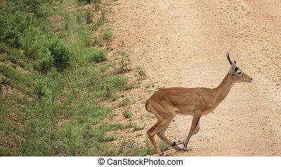 Uganda Kobus runing over track in slow-mo