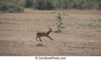 Uganda kobus running in super slow motion