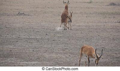 Uganda kobus winner and loser of sexual reproduction in...
