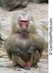 Ugly Monkey - The ugliest baboon the world has ever seen!