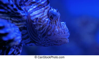Ugly striped lionfish with venomous spines. Blue light - ...