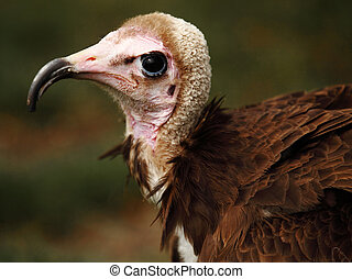 ugly vulture - portrait of an ugly vulture