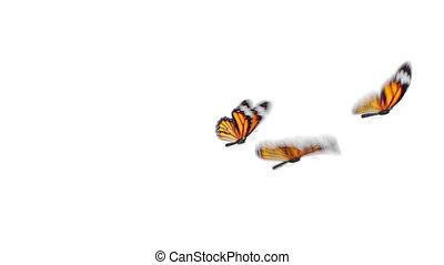 uhd, close-up., beau, écran, animation, 4k, orange, alpha, arrière-plans, voler, vert, groupe, blanc, plexippus, seamless, 3840x2160, monarque, 3d, danaus, channel., papillons, coloré