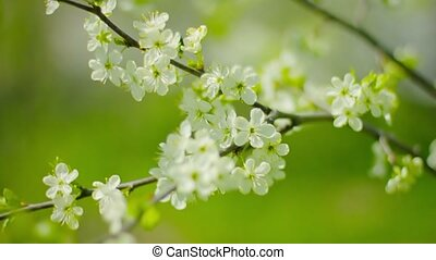 Cherry blossoms. White flowers close-up