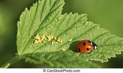 Coccinella septempunctata (seven-spot ladybird) on green leaf with eggs