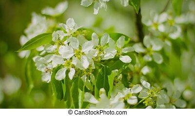 Flowers of apple in the garden close up