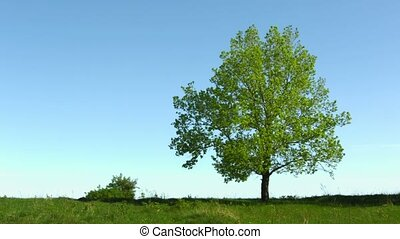 Lonely old oak tree in the meadow on sky background