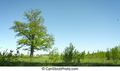 Lonely tree on a summer meadow. Grass and oak on a background of sky