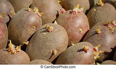 Potato tubers ready for planting closeup