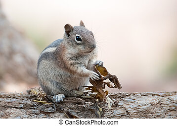Chipmunk (lat. Eutamius umbrinus ) in Bryce Canyon National...