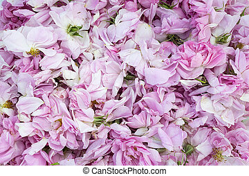 uitgelezen, vallei, bloem, rosa, kroonbladen, karlovo., damascus., damascena., roos, vers