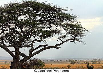 układa, akacjowe drzewo, savannah