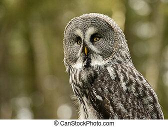 Great Grey Owl in captivity